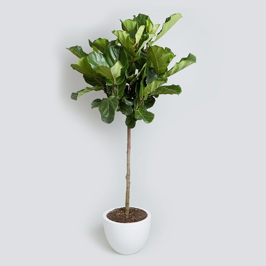 indoor plants lou 39 s flower world plant ensuite large indoor plants plants fiddle leaf. Black Bedroom Furniture Sets. Home Design Ideas