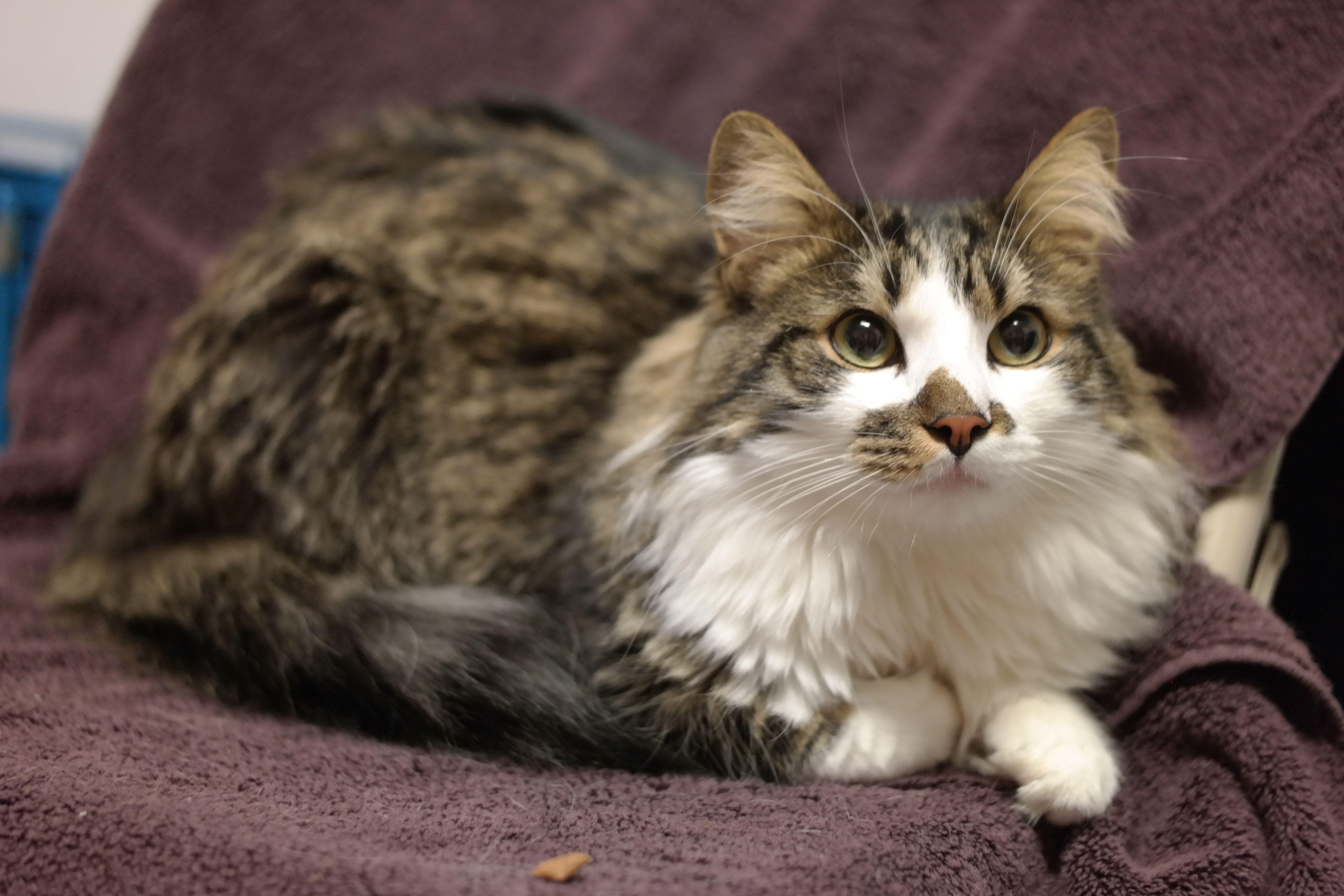 Adopt Simba On Petfinder Cat Adoption Baby Cats Norwegian Forest Cat