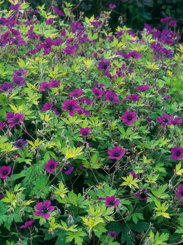 Cranesbill Provides A Weedproof Ground Cover Lovely Low Growing