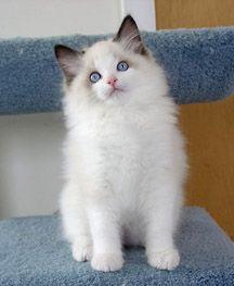Toledo Oh Ragdoll Breeder Kittens For Sale Supurr Ragdolls