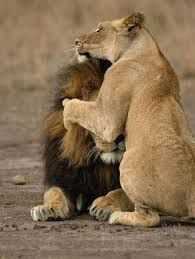 Image result for lion love