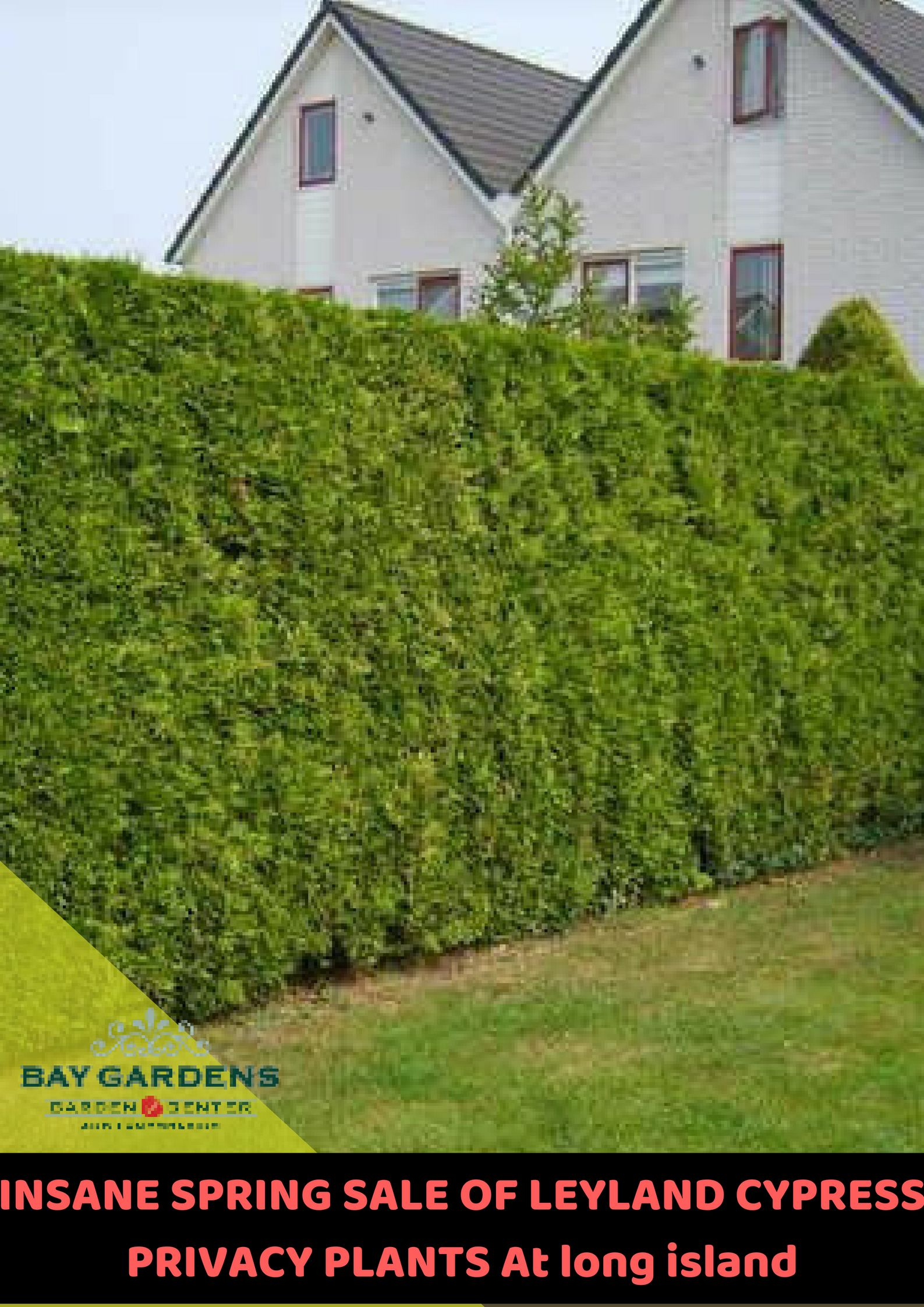 Bay Gardens Gives An Offer Of Beautiful Leyland Cypress