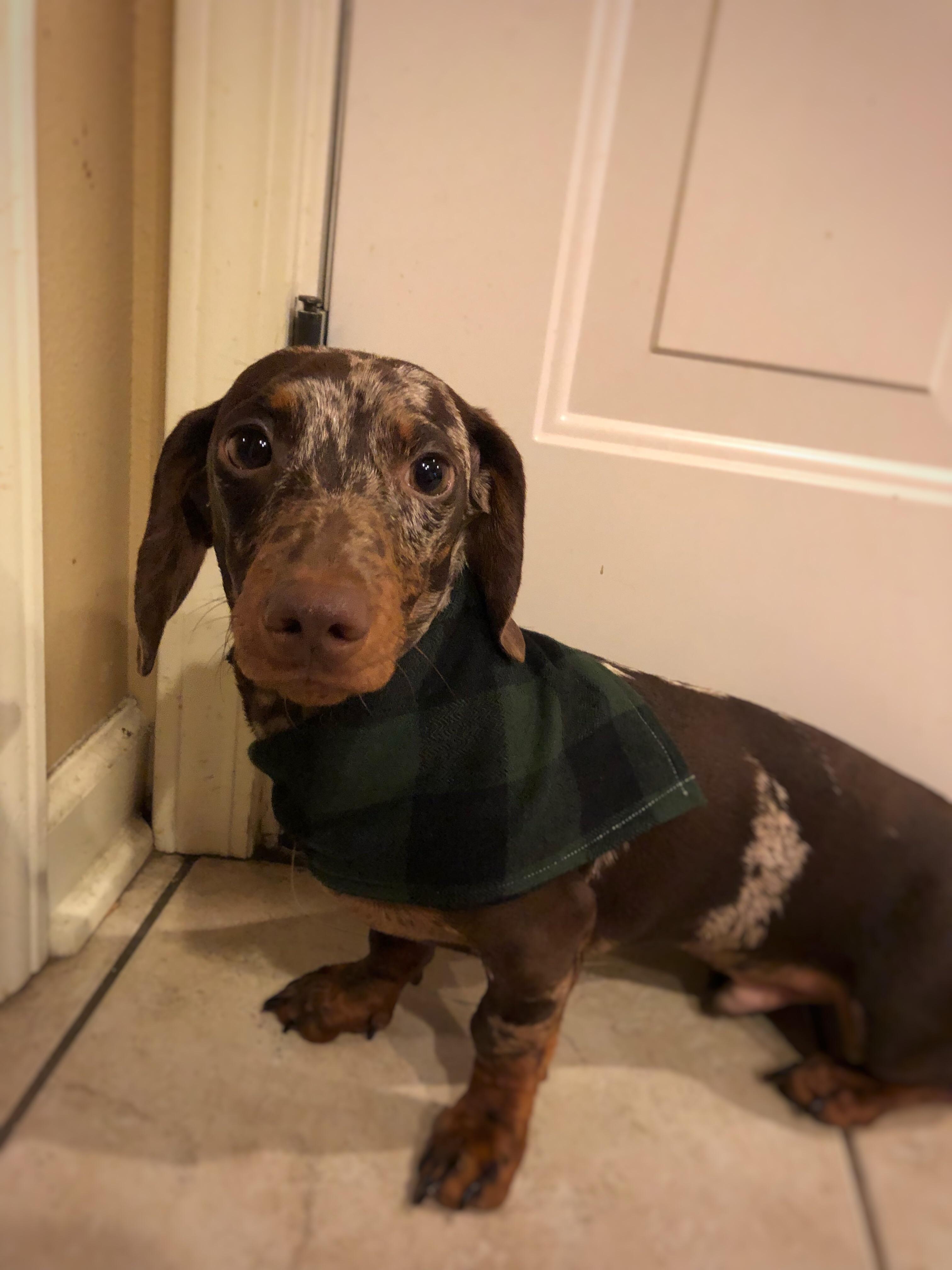 Petey Please Donate Us Weenie Dogs Weiner Dog Dachshund Lovers