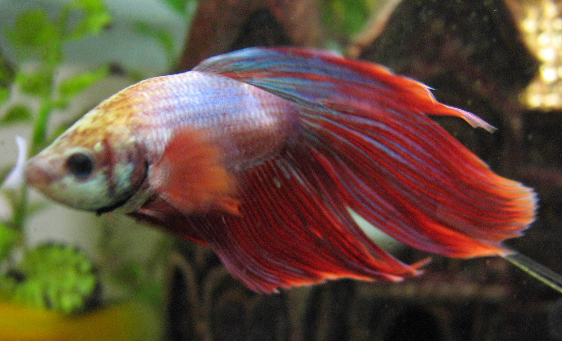 Anabantoidei - Wikipedia, the free encyclopedia | Bettas and other ...