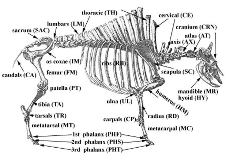 Online veterinary anatomy
