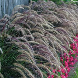 Purple Fountain Grass Along The Entire Back Fence With Images