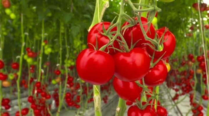 Fazenda produz tomates usando apenas luz do sol e água do mar