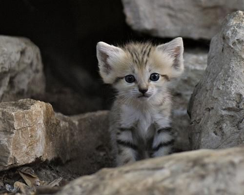 Sand cats are one of the smallest wild cats in the world, smaller than the domestic cats. Also known as the sand dune cat, is the only cat living foremost in true deserts. This small cat is widely distributed in the deserts of North Africa and Southwest and Central Asia.