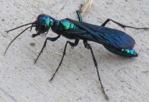 Steel Blue Cricket Hunter What S That Bug Steel Blue Insect Species Blue