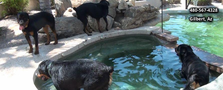 Rotten Rottie Rescue Rottweiler Rescue Arizona Rottweiler