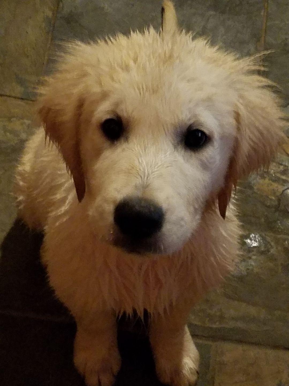 English Golden Retriever Puppy S 1st Bath English Golden Retrievers Golden Retriever Funny English Golden Retriever Puppy