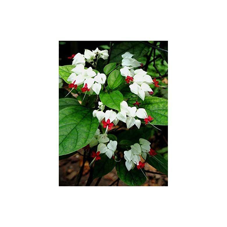 25 rare white red bleeding heart seeds dicentraspectabilis
