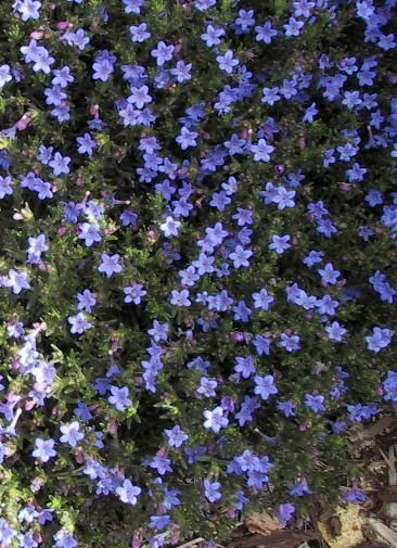 Ed S Favorites Lithodora Ground Cover Ground Cover Plants Trees To Plant