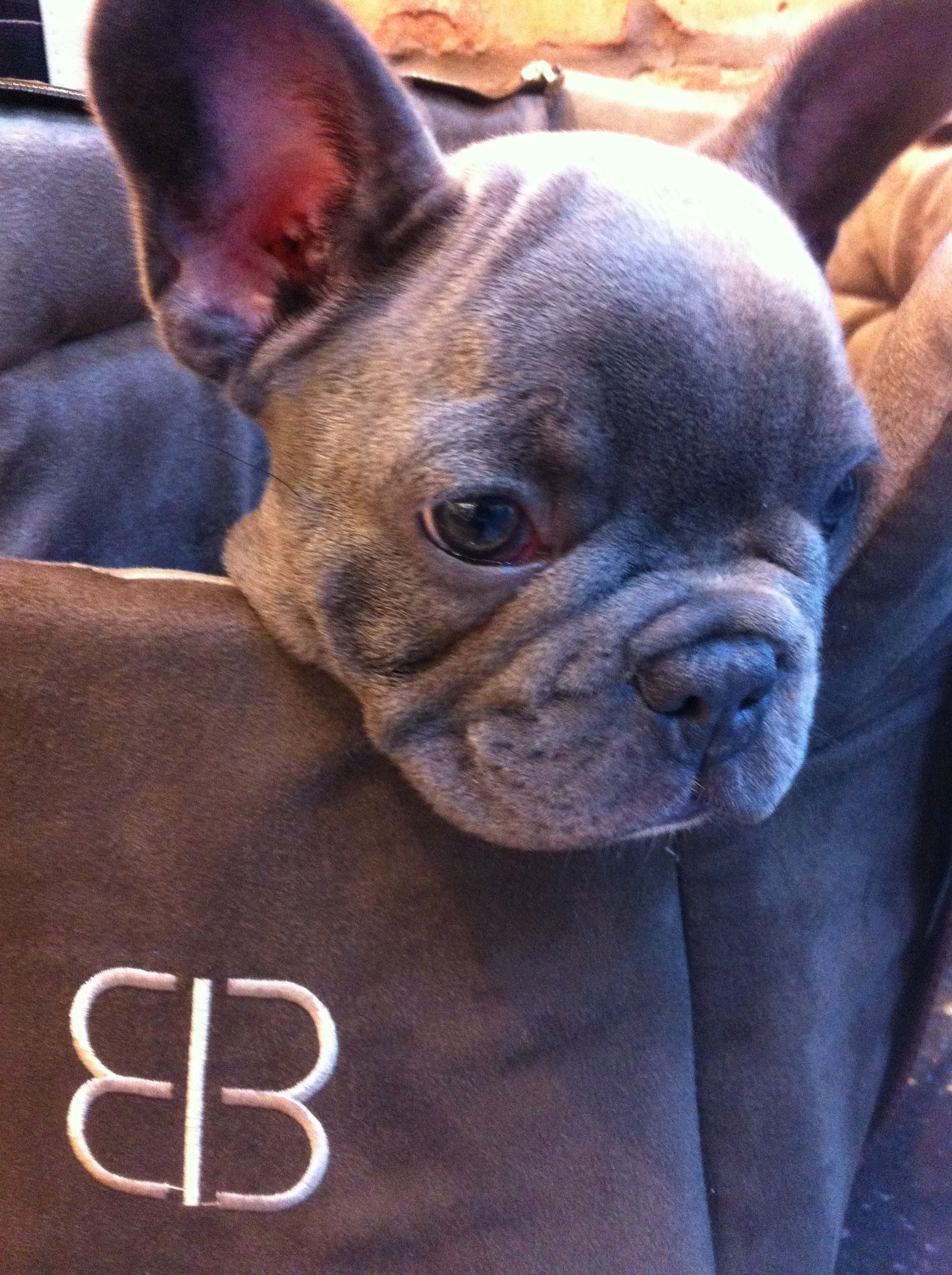 Conti Blue French Bulldog. I saw a cute guy and he had