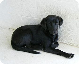 Status Act Quickly to save Animals pyt down as space neede. Look at this sweet girl. Fayetteville, WV - Labrador Retriever Mix. Meet Elanor a Dog for Adoption.