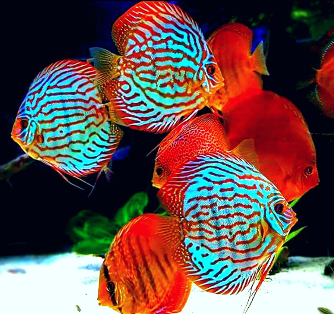 beautiful colors of discus | Pinterest Beğenilerin | Pinterest ...