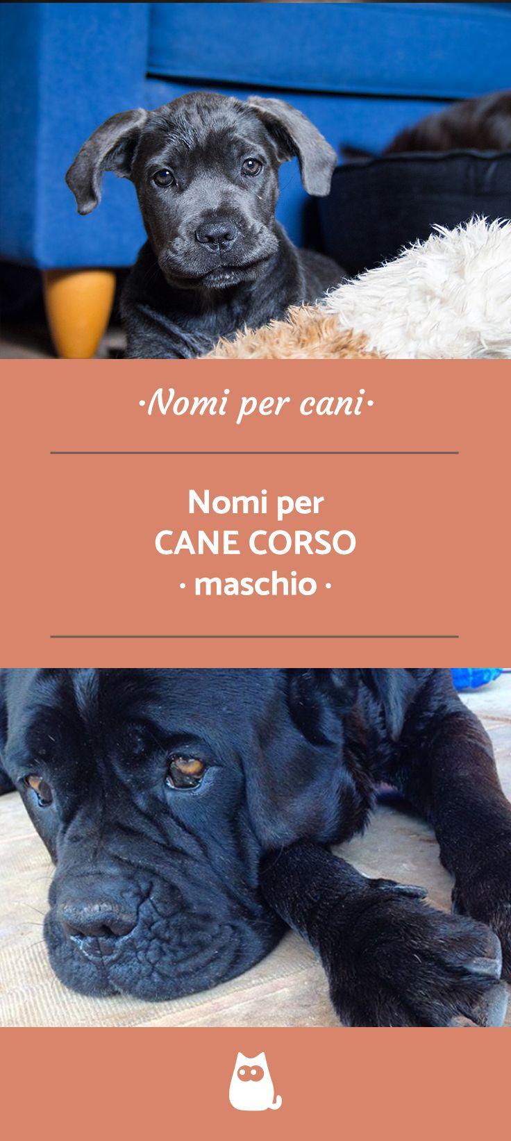 Nomi Per Cane Corso Maschio Femmina Unisex 100 Idee Originali