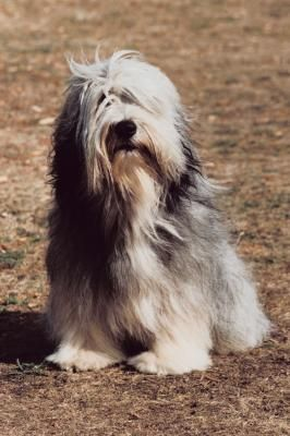 How To Train Understand Your Bearded Collie Puppy Dog With
