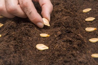 Planting Pumpkin Seeds Top Tips On How Planting Pumpkins Planting Pumpkin Seeds Pumpkin Seeds