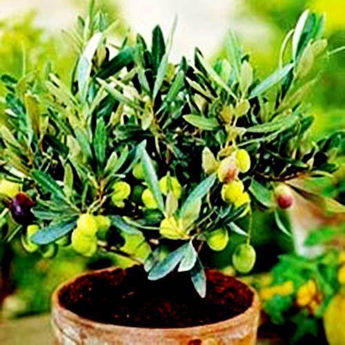 10 Seeds of Olive Tree