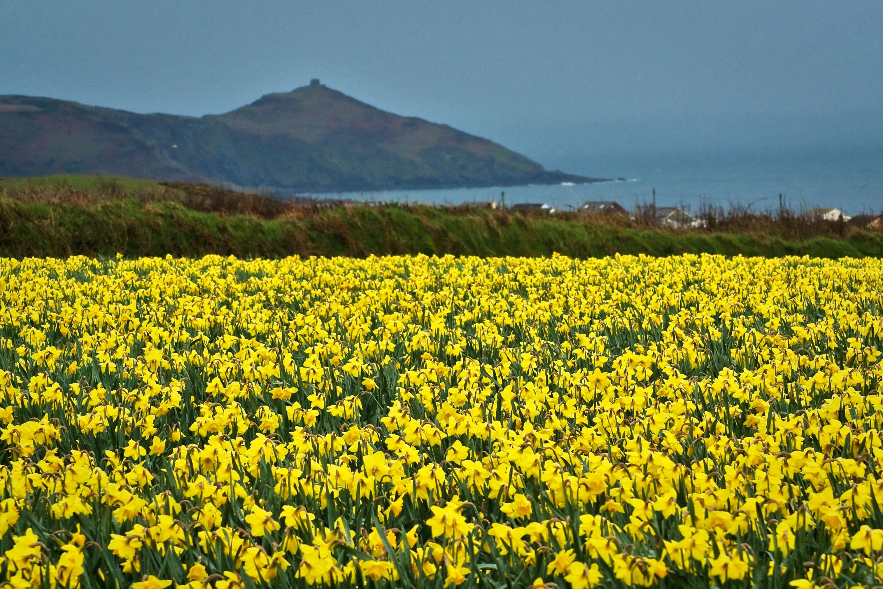 In The Fields Of Daffodils | Pictures of daffodils, Daffodils ...