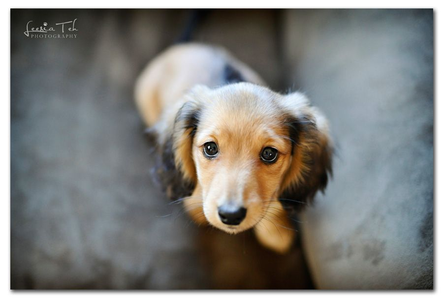 I Love This Color For The Long Hair Dachshunds I May Have To Have