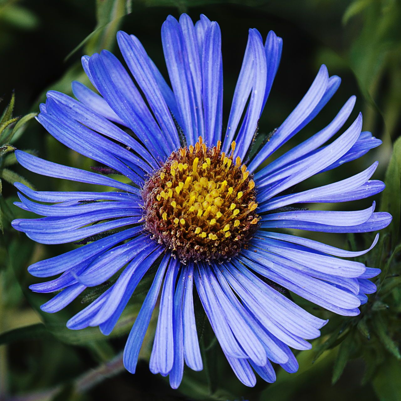 Love A Symbol Of Eternity September Flower Aster Meaning Patience Love Good Luck Aster Flower September Flowers Aster Flower Tattoos