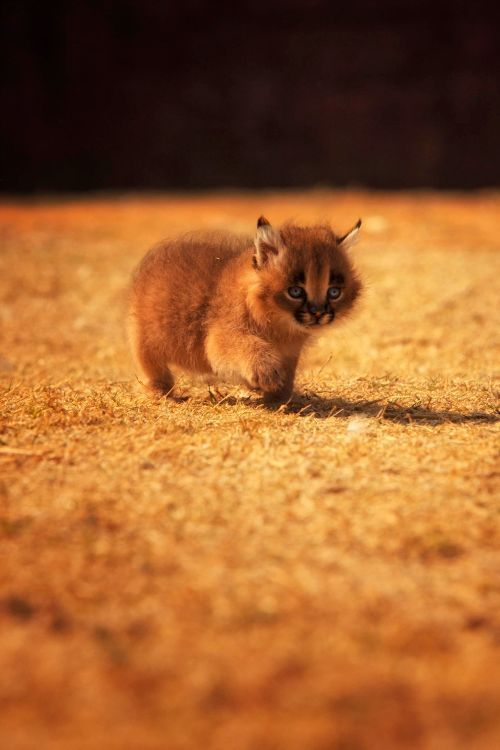 The Name Caracal Comes From The Turkish Word Karakalak Which Means A Black Ear It Is A Medium Sized Animal Native To T Animals Caracal Kittens Cat Species