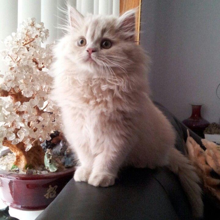 Cream Doll Face Persian Kitten Instagram Com Dollfacemadison Persian Cat Persian Kittens Persian Cat Doll Face