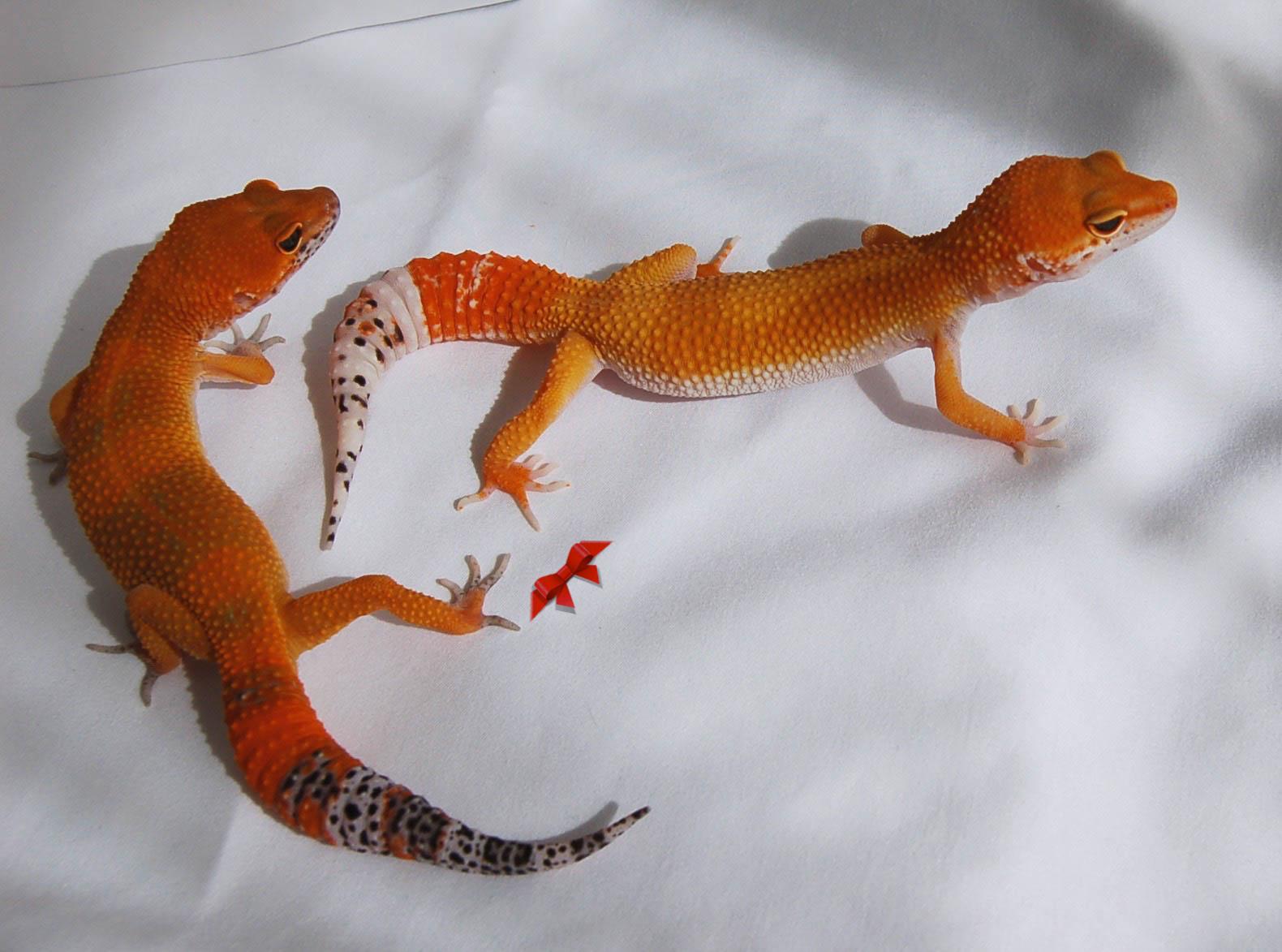 Dark And Light Tangerine Leopard Gecko Animals Lizard