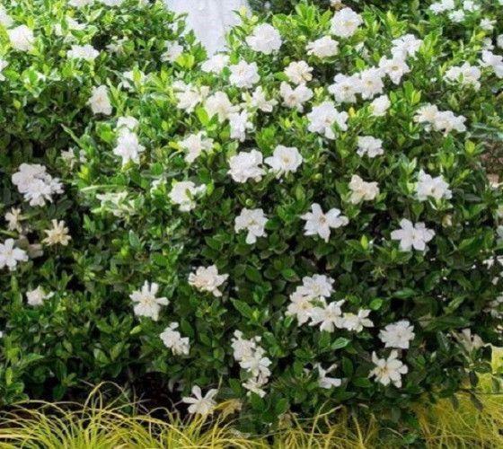 Jubilation Gardenia Gardenia Jasminoides Leeone A Flowering