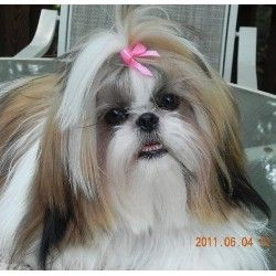 Search Standard Shih Tzu Breeders And Kennels Freedoglistings Page