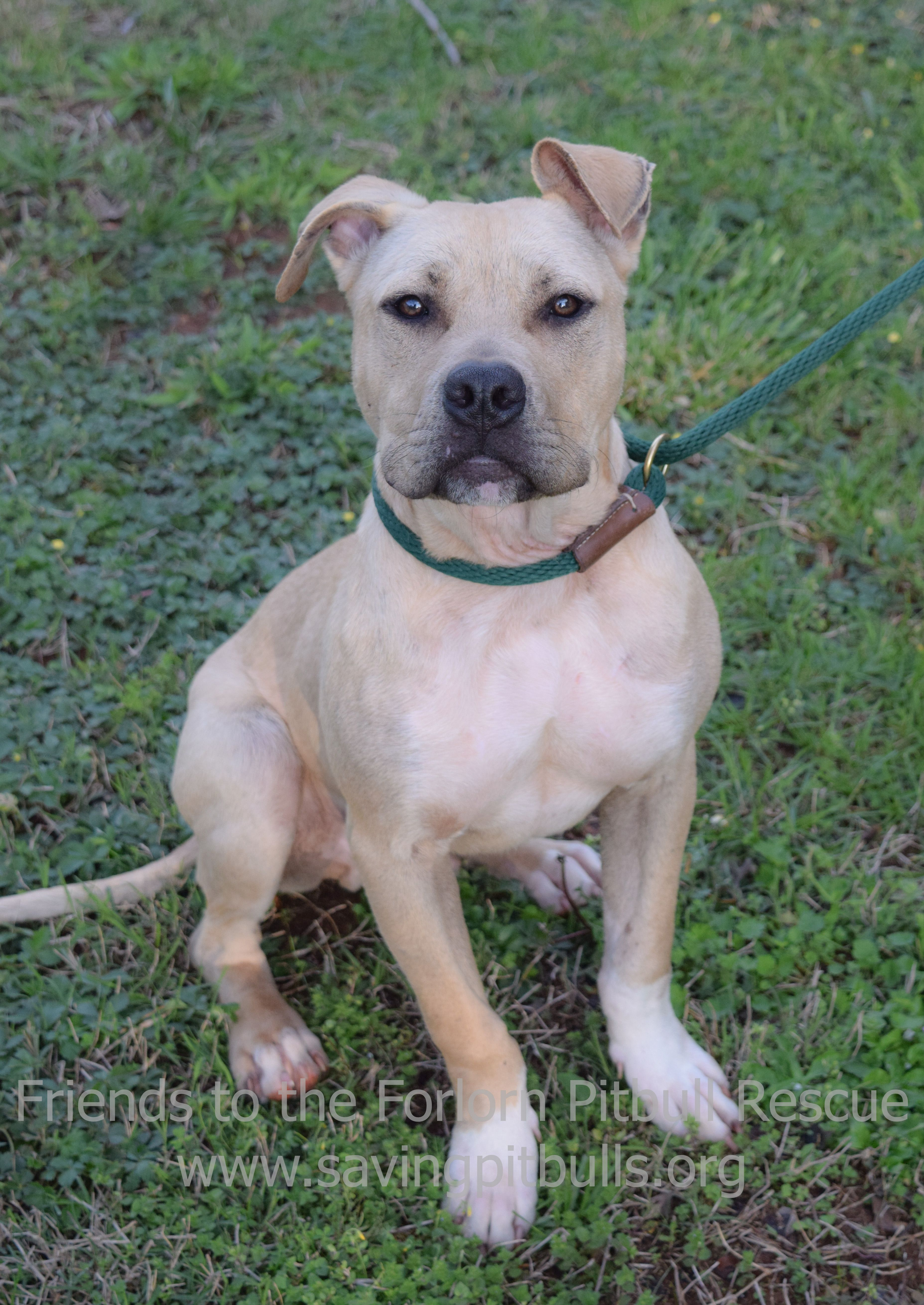 This Is The American Pit Bull Terrier - m