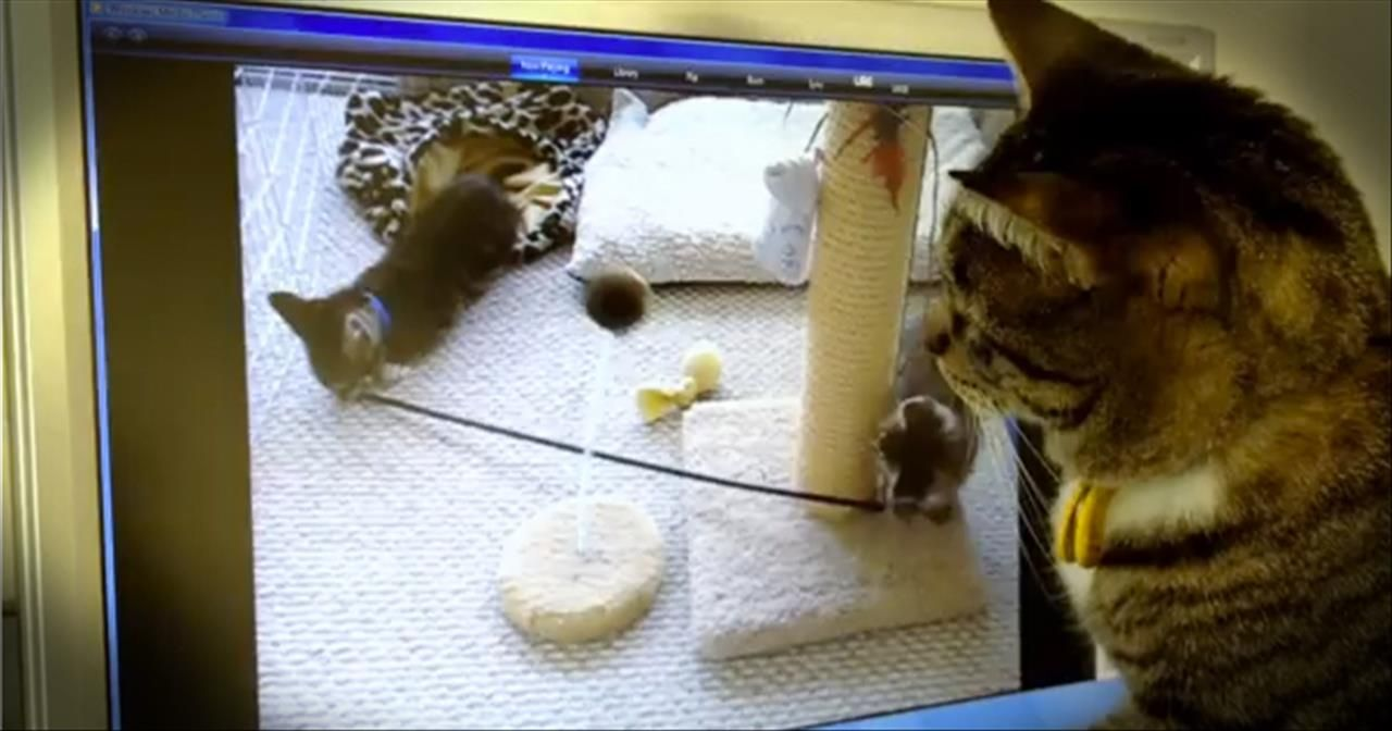 Cat Thinks Kittens On Computer Are Real And Tries To Find Them Comedy Videos Cats Kittens Kitten Gif