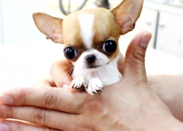 Omg 3 Welpen Chihuahua Welpen Niedliche Tierbilder