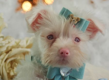 Rare White Blue Eyed Pink Nose Yorkie Yorkie Terrier Yorkie