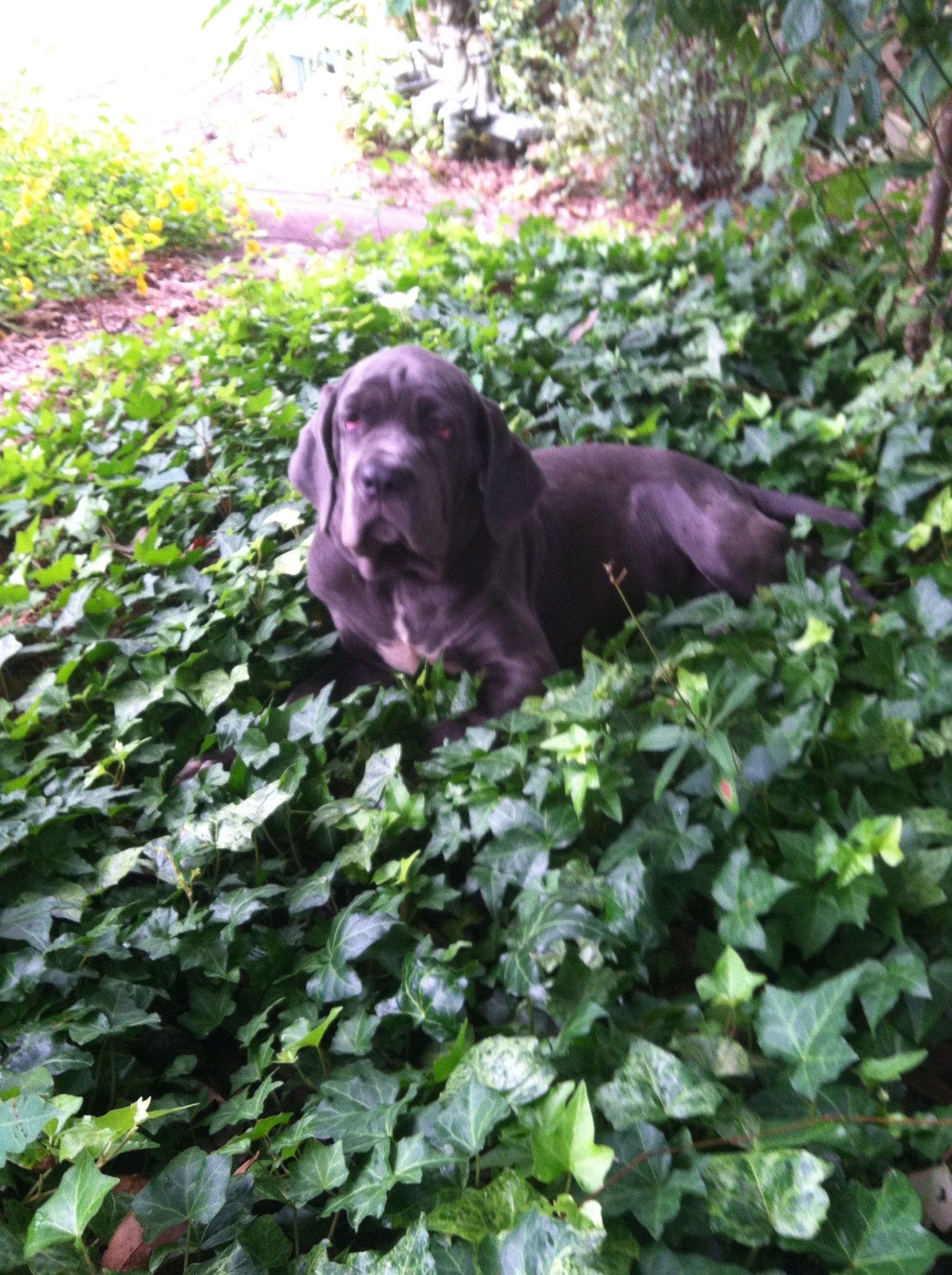 My neopolitan mastiff puppy i never knew doggy love like