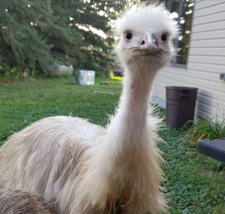 Untitled Document [bio.sunyorange.edu] |Emu Anatomy