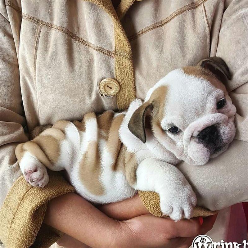 Baby English Bulldog Cute Animals Dogs Cute Baby Animals