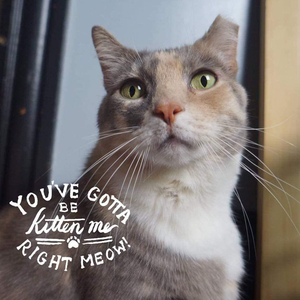 Shortcake Says You Ve Got To Be Kitten Me Right Meow Catmom Cats Catstagram Furbaby Catlife Cats Of Instagram Cats Of Wor Cat Mom Right Meow Cat Life