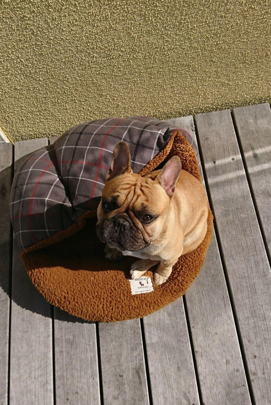 Theerak The French Bulldog Franzosische Bulldogge