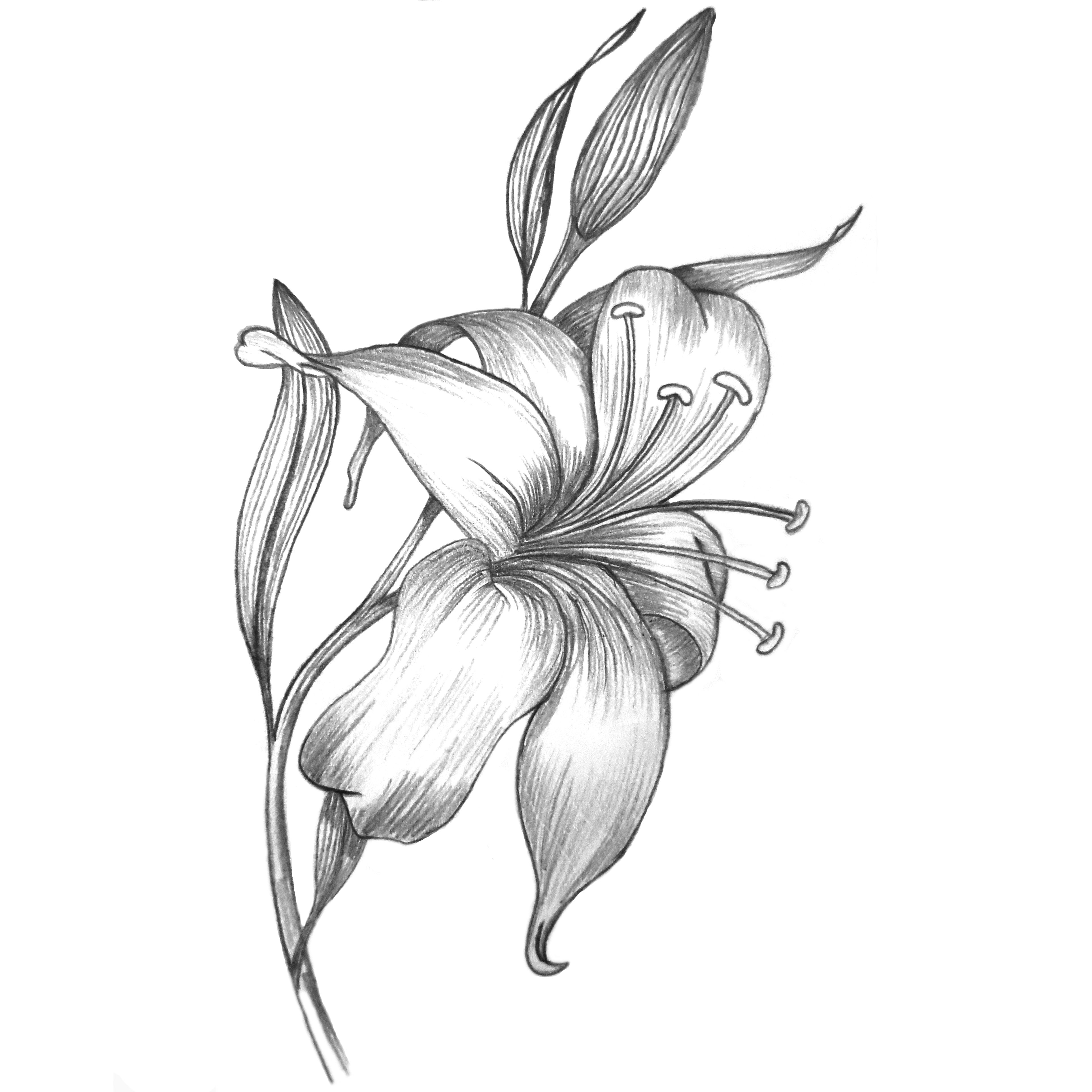 pencil sketch Lily flower mespilia Drawing Pinterest