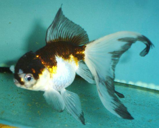 Fancy Goldfish And Pondfish Shipped To Your Door Powered By Cubecart Buy Goldfish Goldfish Oranda Goldfish