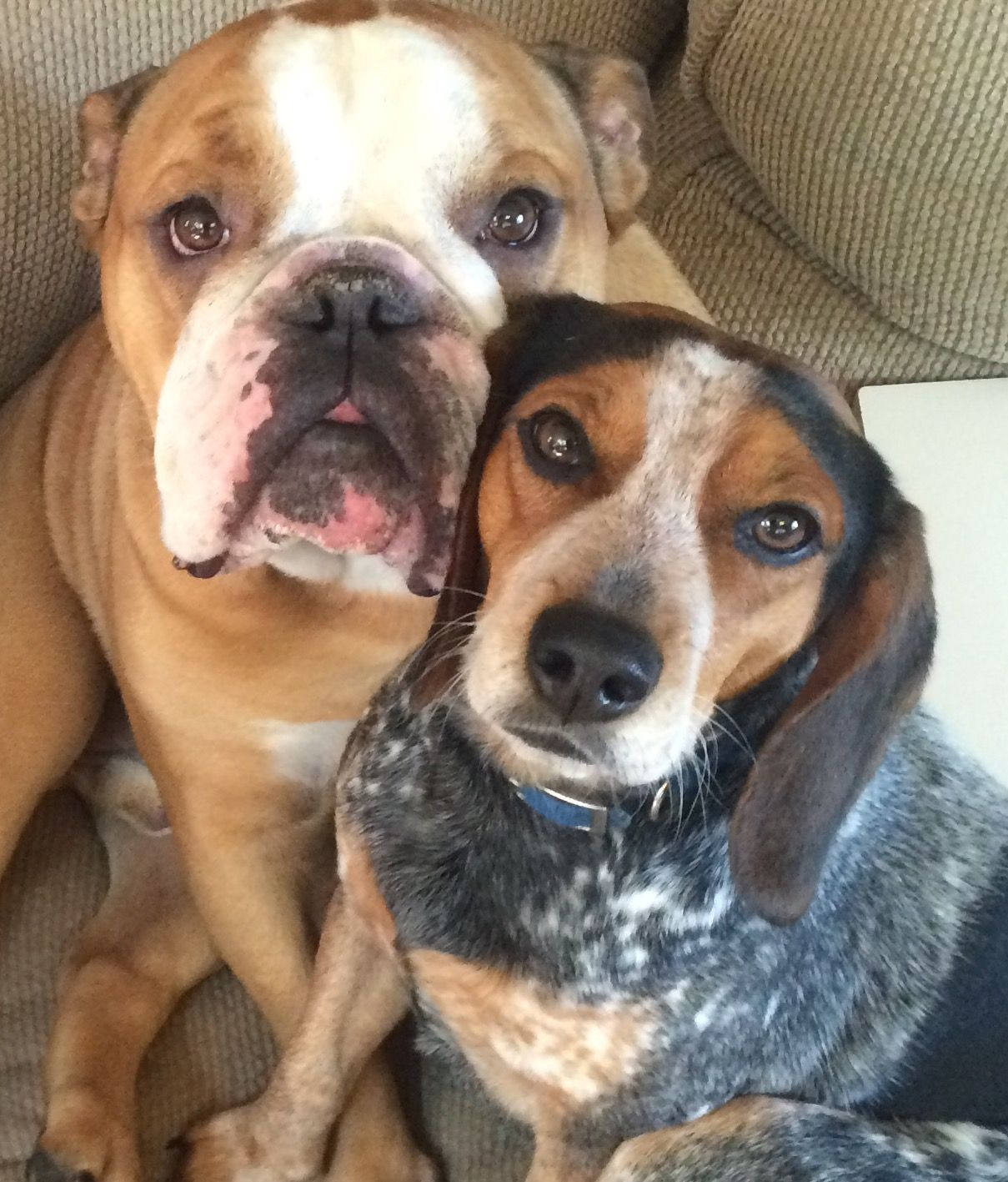 Pin By Lisa Novak On English Bulldogs Baby Dogs