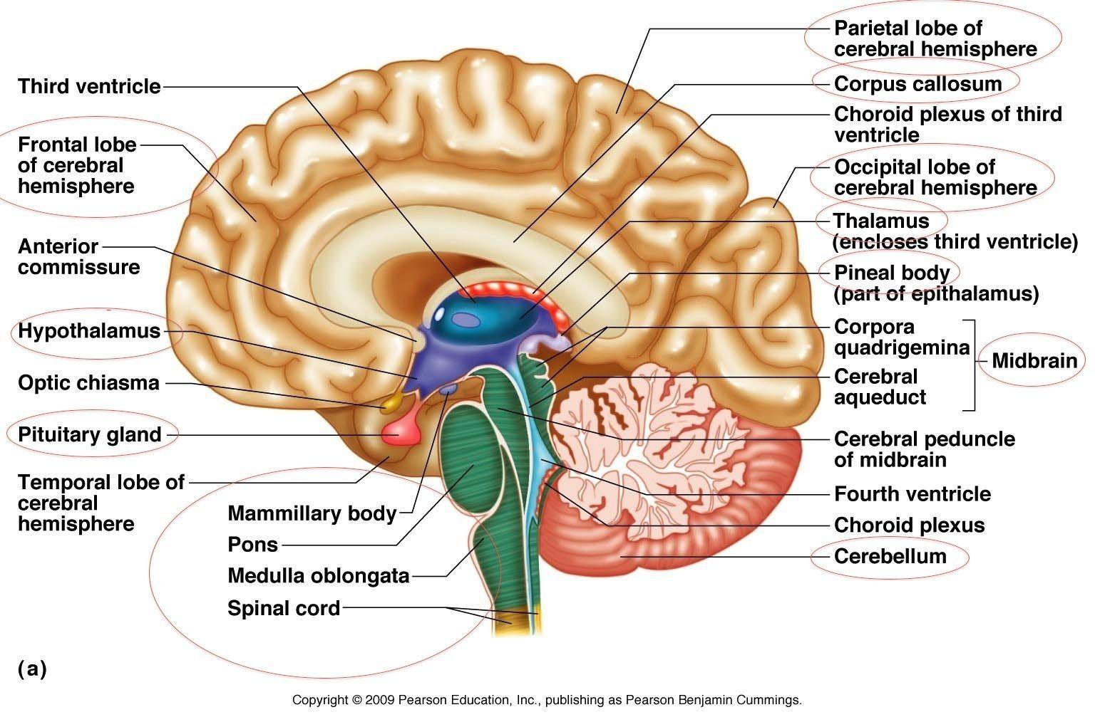Structure Of The Brain Diagram Nervous System Diagram
