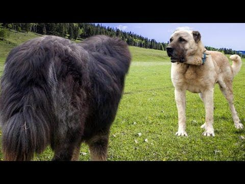 Kangal vs Tibetan Mastiff - Ultimate Clash | DOG STUFF ...