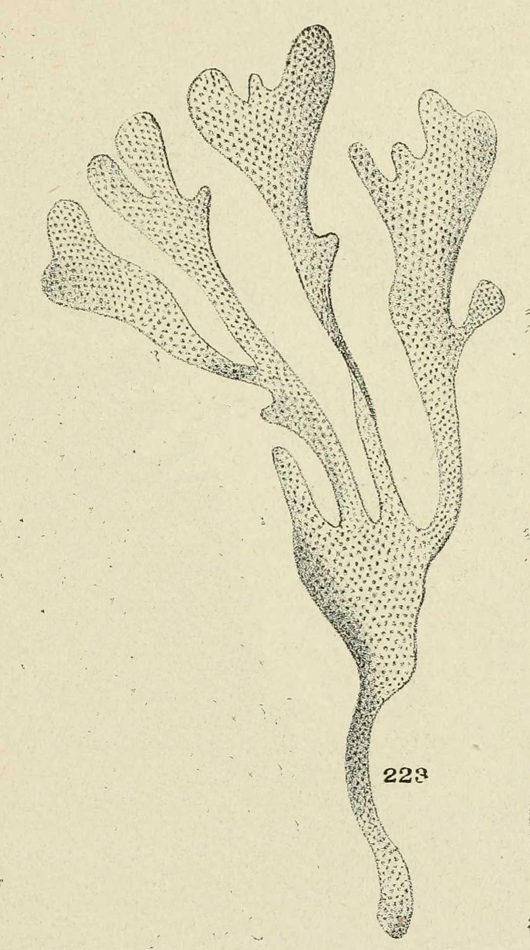 Gravures Coquillages Gravure De Coquillage Flustre Bryozoaires Gravures Illustrations Dessins Images En 2019 Dessin Coquillage Et Illustration