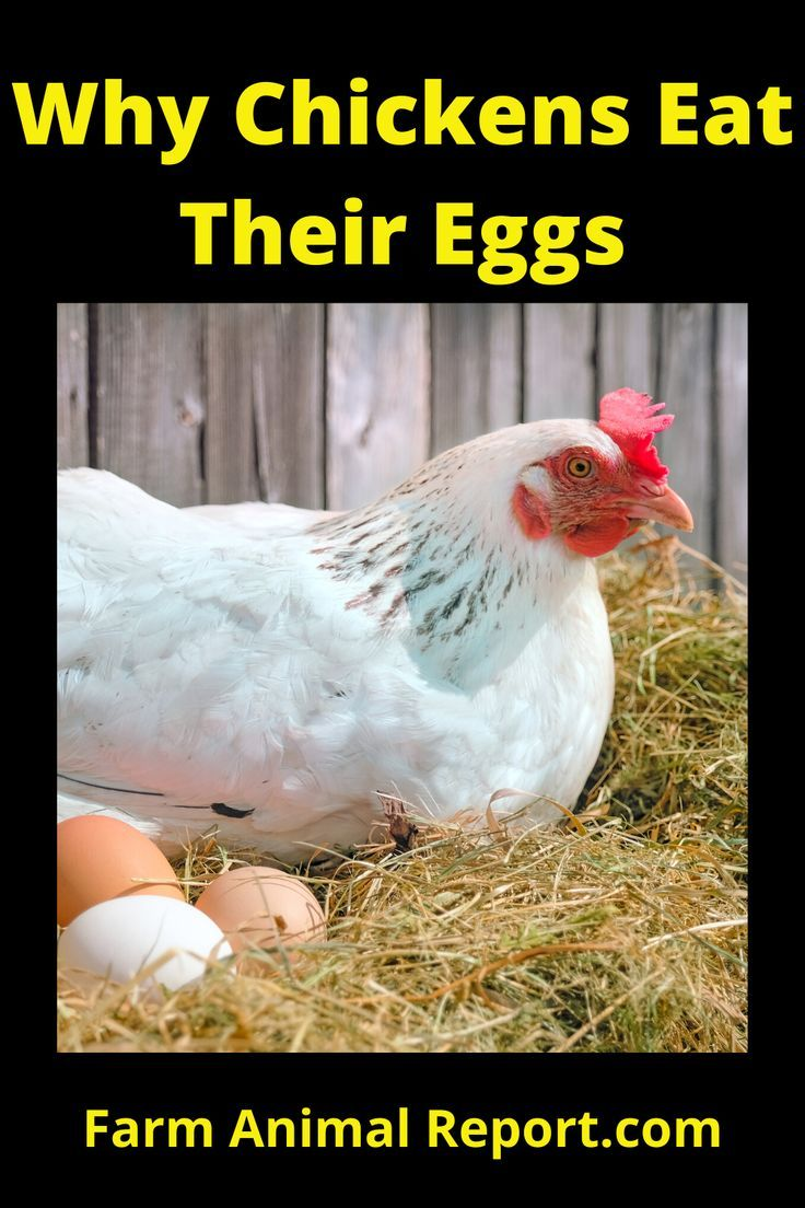 Why do Chickens Peck Their Eggs in 2020 Chickens, Sweet