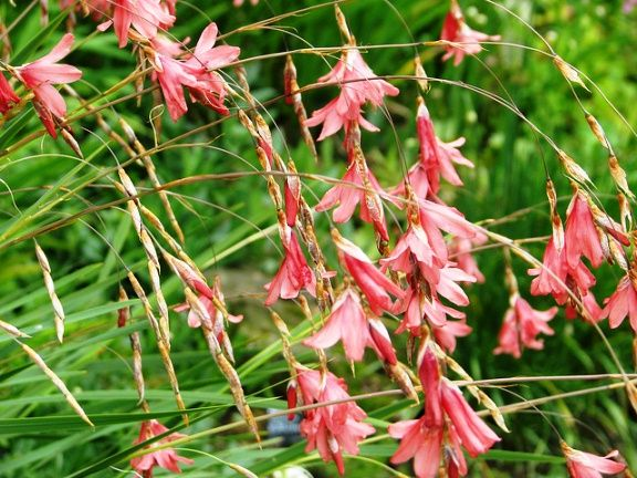 3xdusky pink dierama is a small genus of evergreen perennials 3xdusky pink dierama is a small genus of evergreen perennials characterized by drooping flower stems and bell shaped flowers the plant is known a mightylinksfo