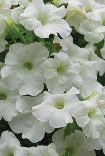 Petunia Surfinia Series White Petunias Types Of Flowers Plants
